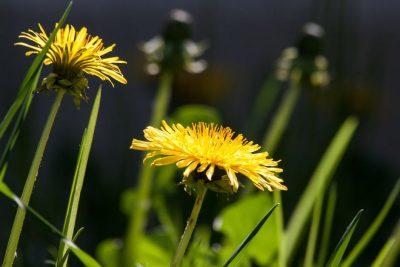 Spring Tonic Herbs